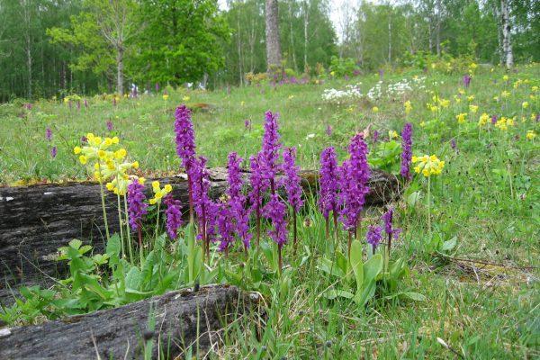 Dalsland-¦s calcareous flatrocks. Foto Lars Johansson